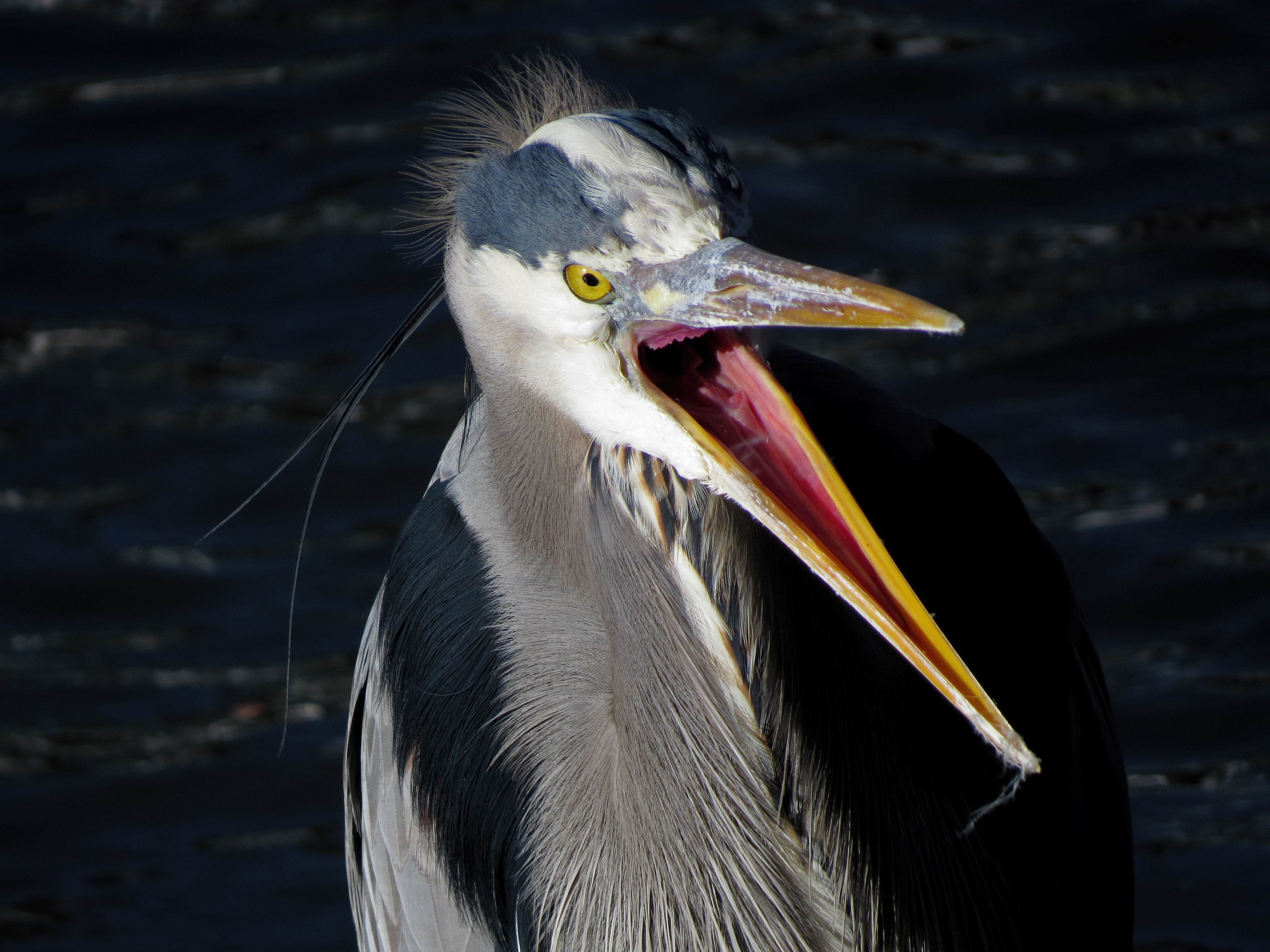 Great Blue Heron Tony Britton 2014 (6).jpg
