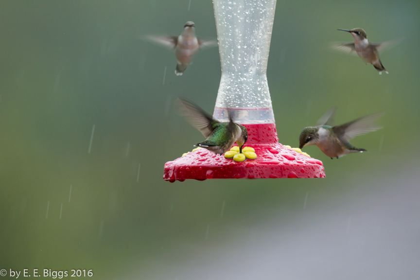 several hummingbirds.jpg