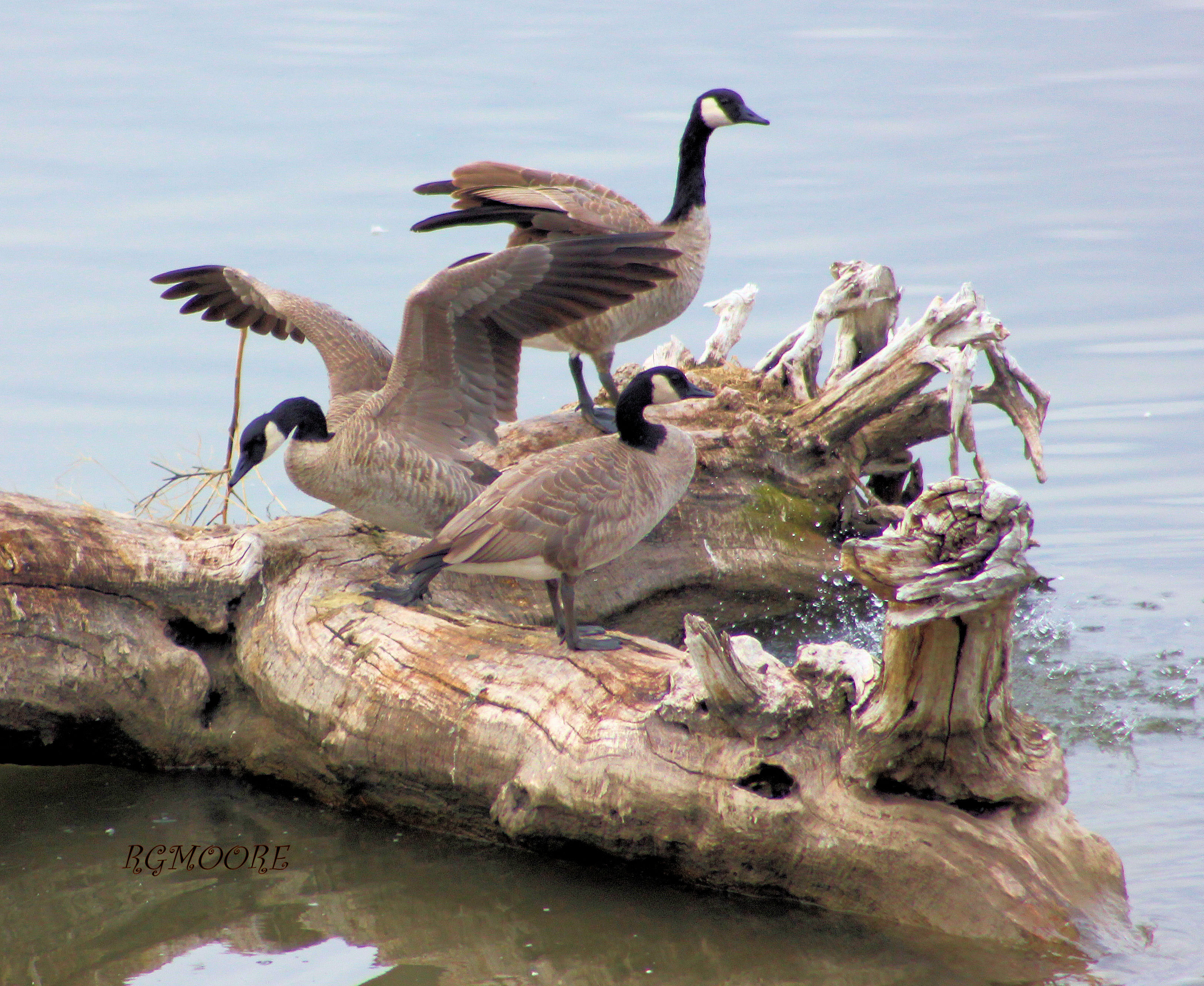 GEESE ON THE MISSOURI