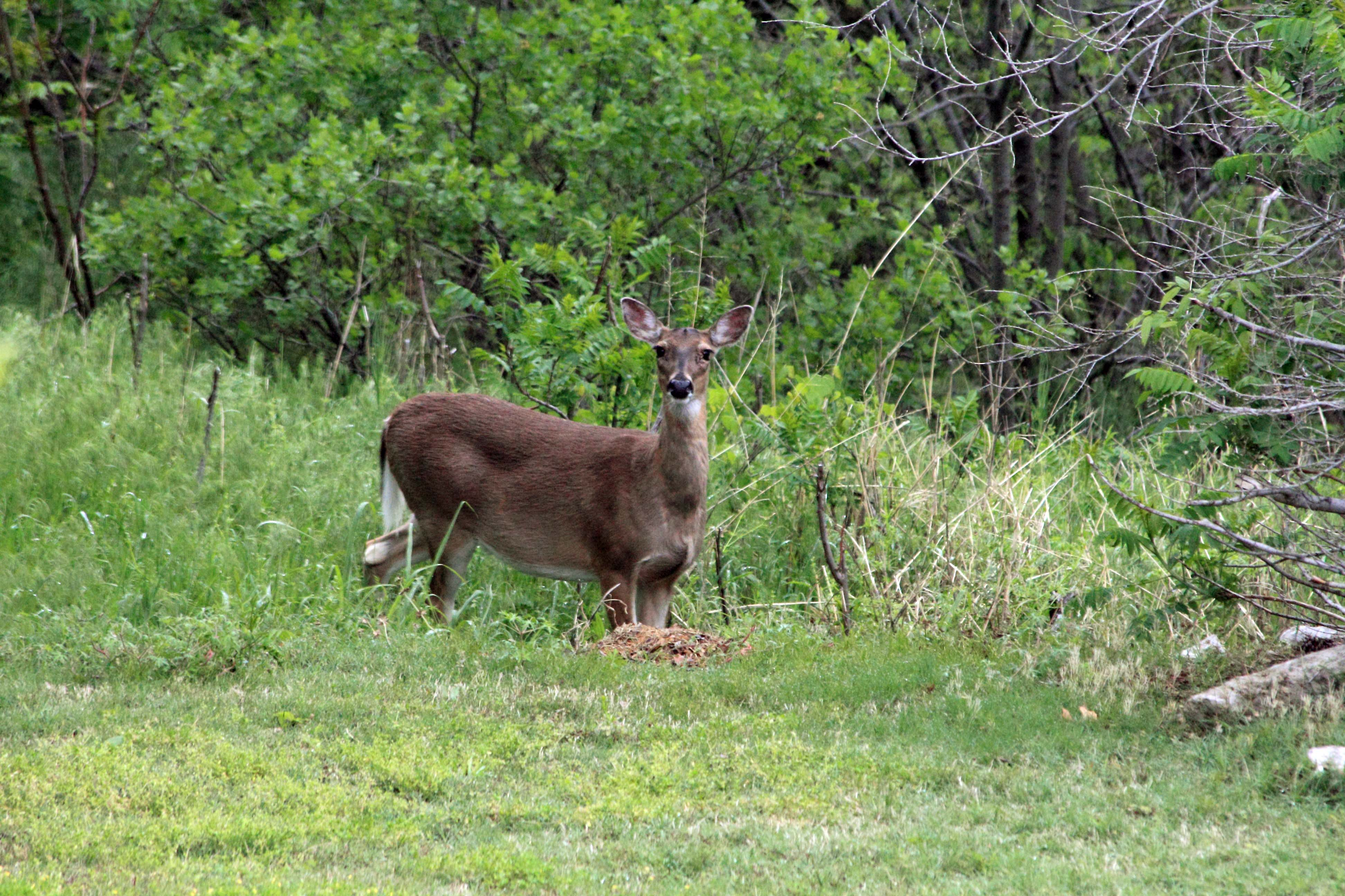 Whitetail in the Back Yard(3) 05MAY13.JPG