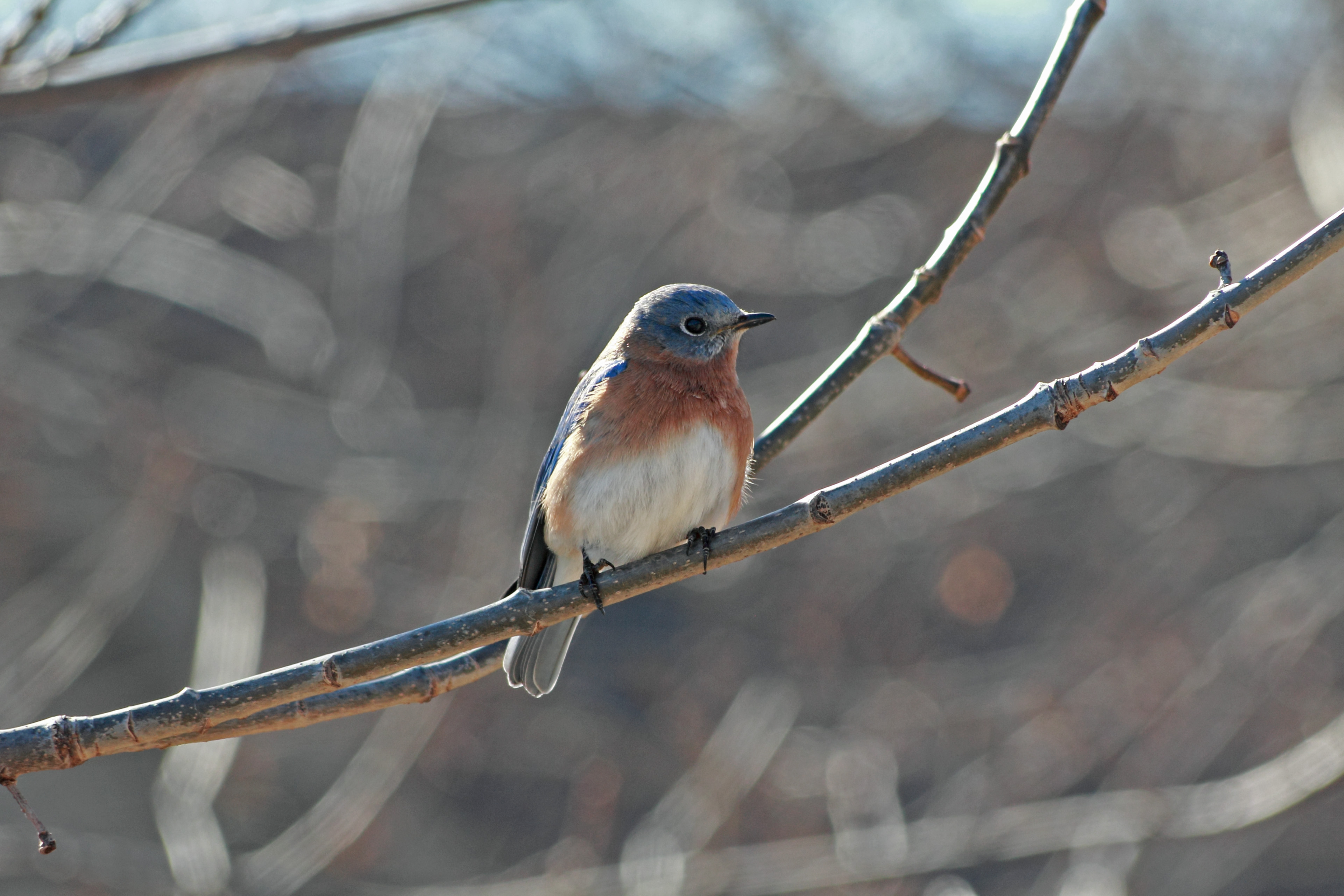 Male Bluebird 24JAN14.jpg