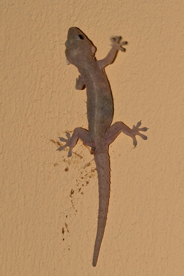 Gecko, Hemidactylus frenatus, photographed with flash at night