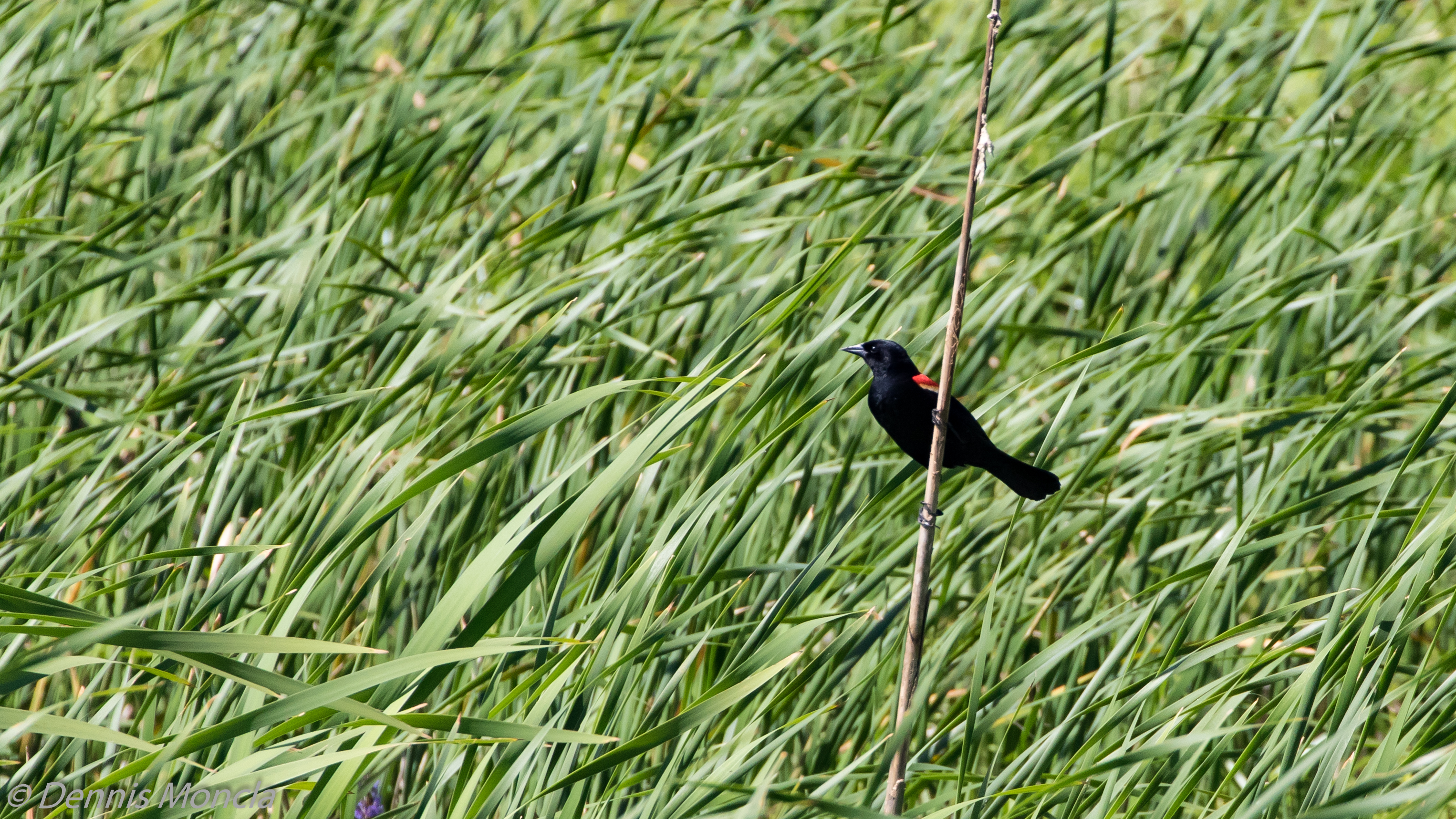 Red Wing Black Bird in Grass.jpg