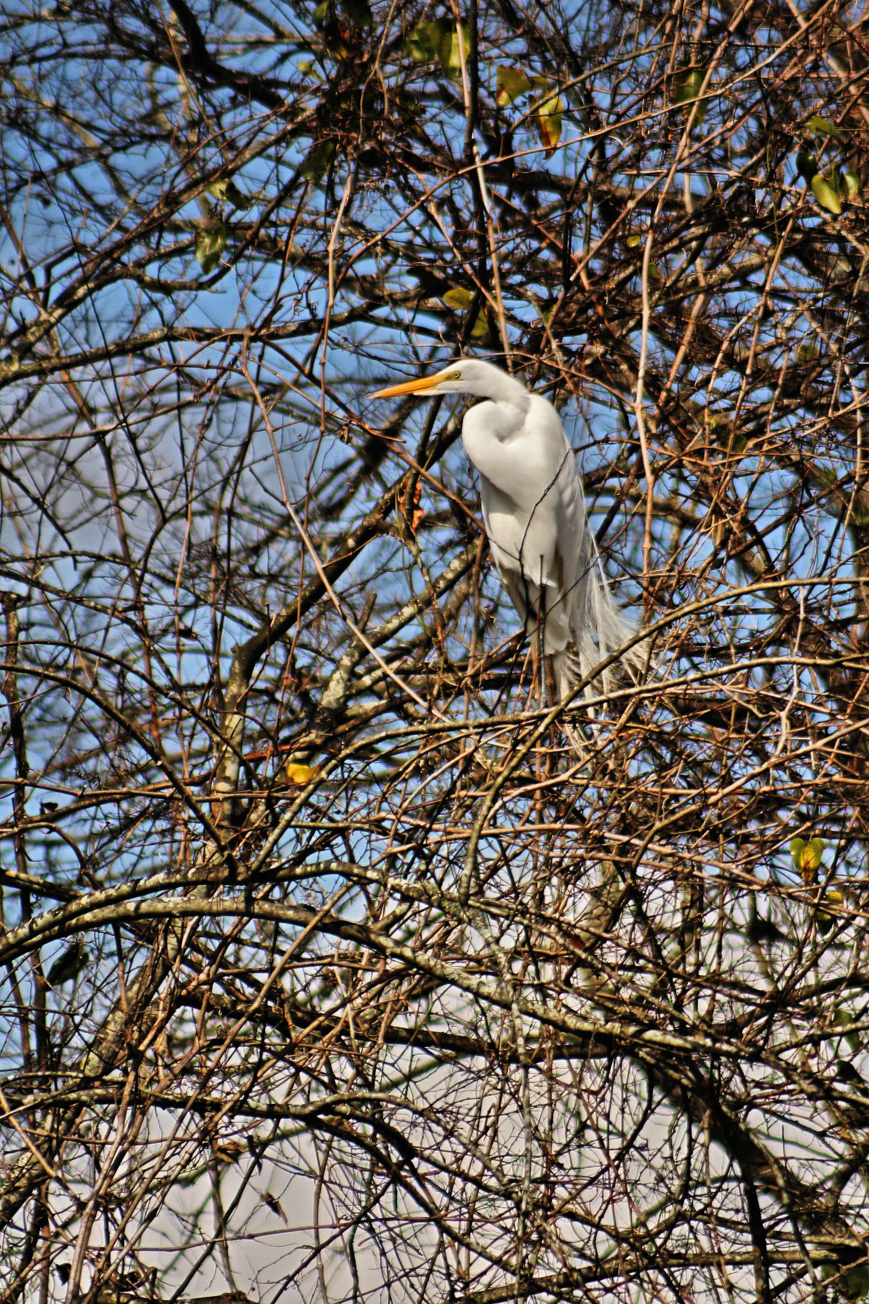 IMG_8760A_Great Egret.jpg