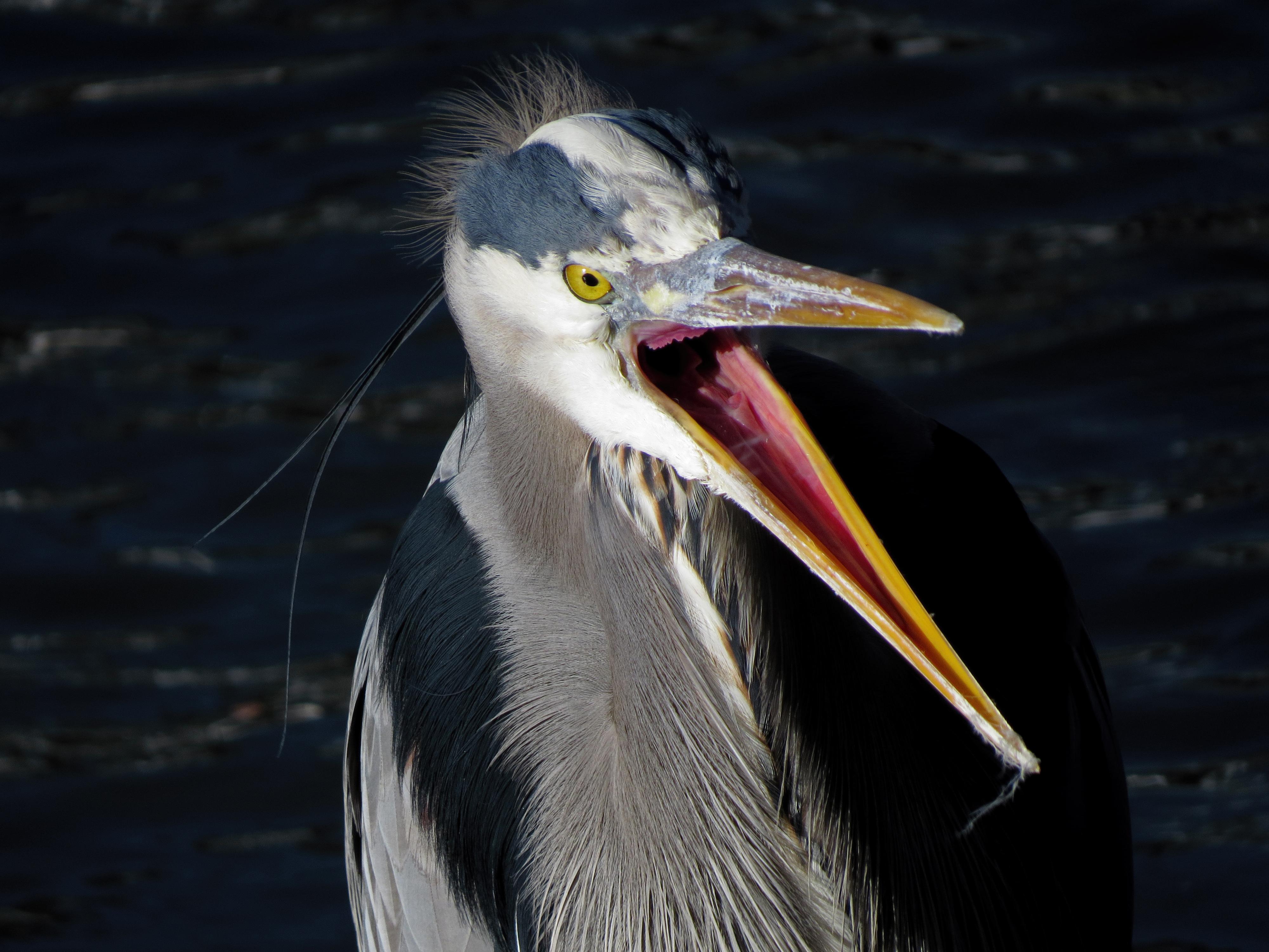 Great Blue Heron Tony Britton 2014 (6).jpg