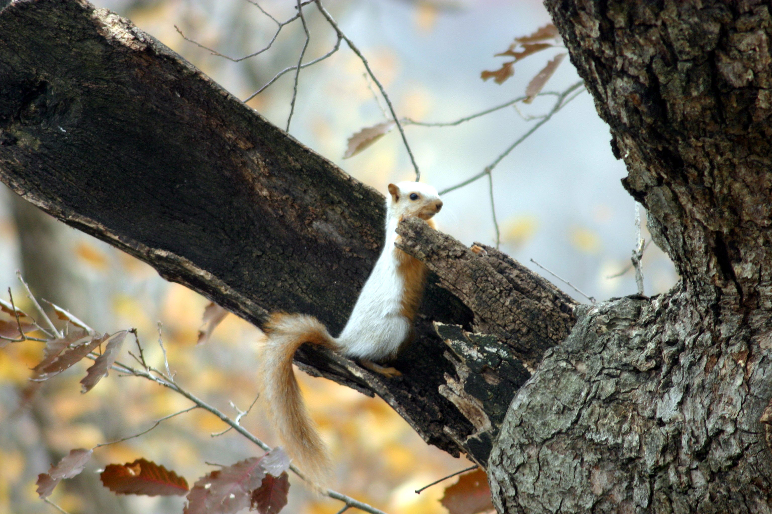 White Squirrel 27NOV05.jpg