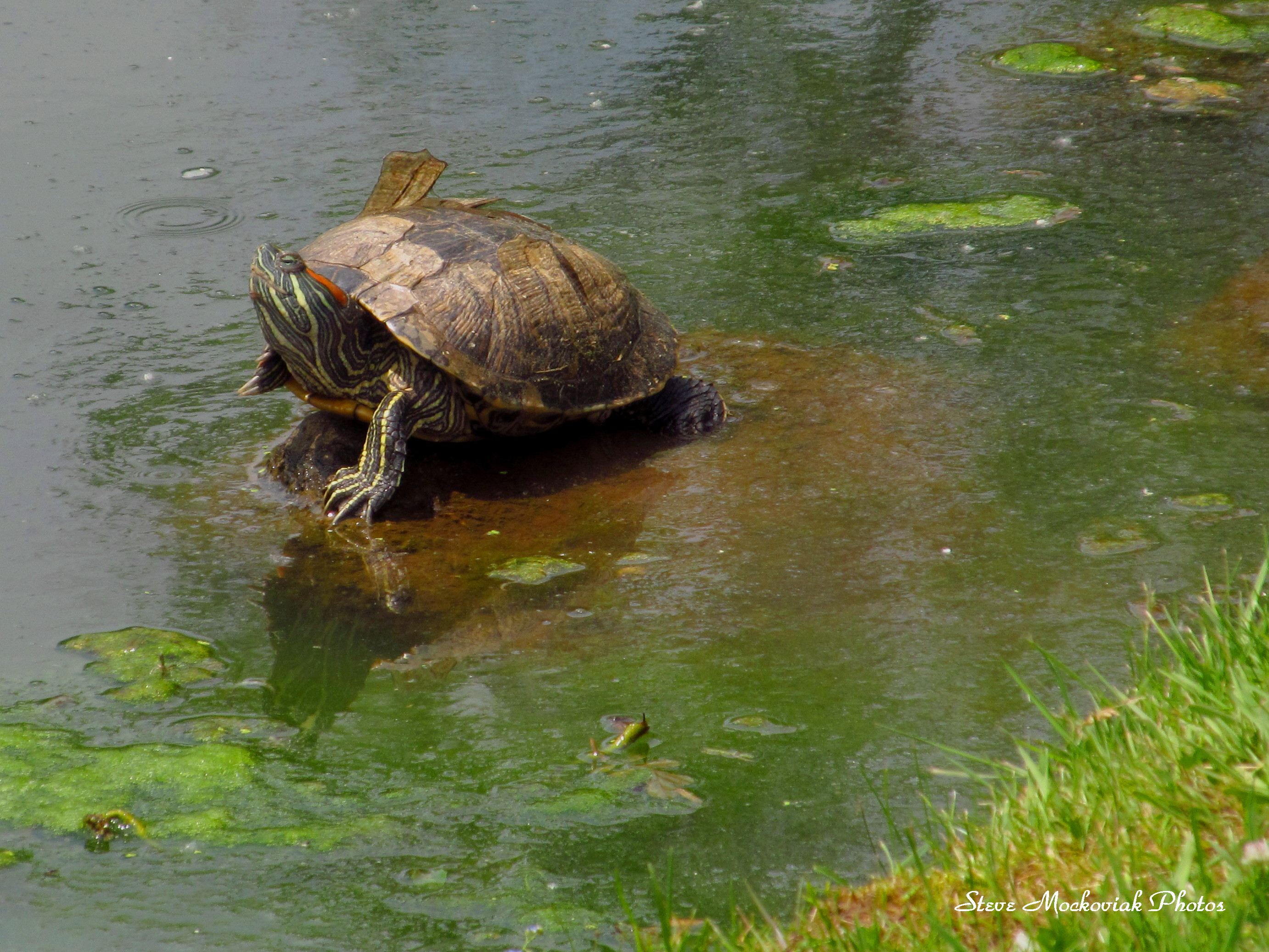 Injured Turtle_2542.jpg