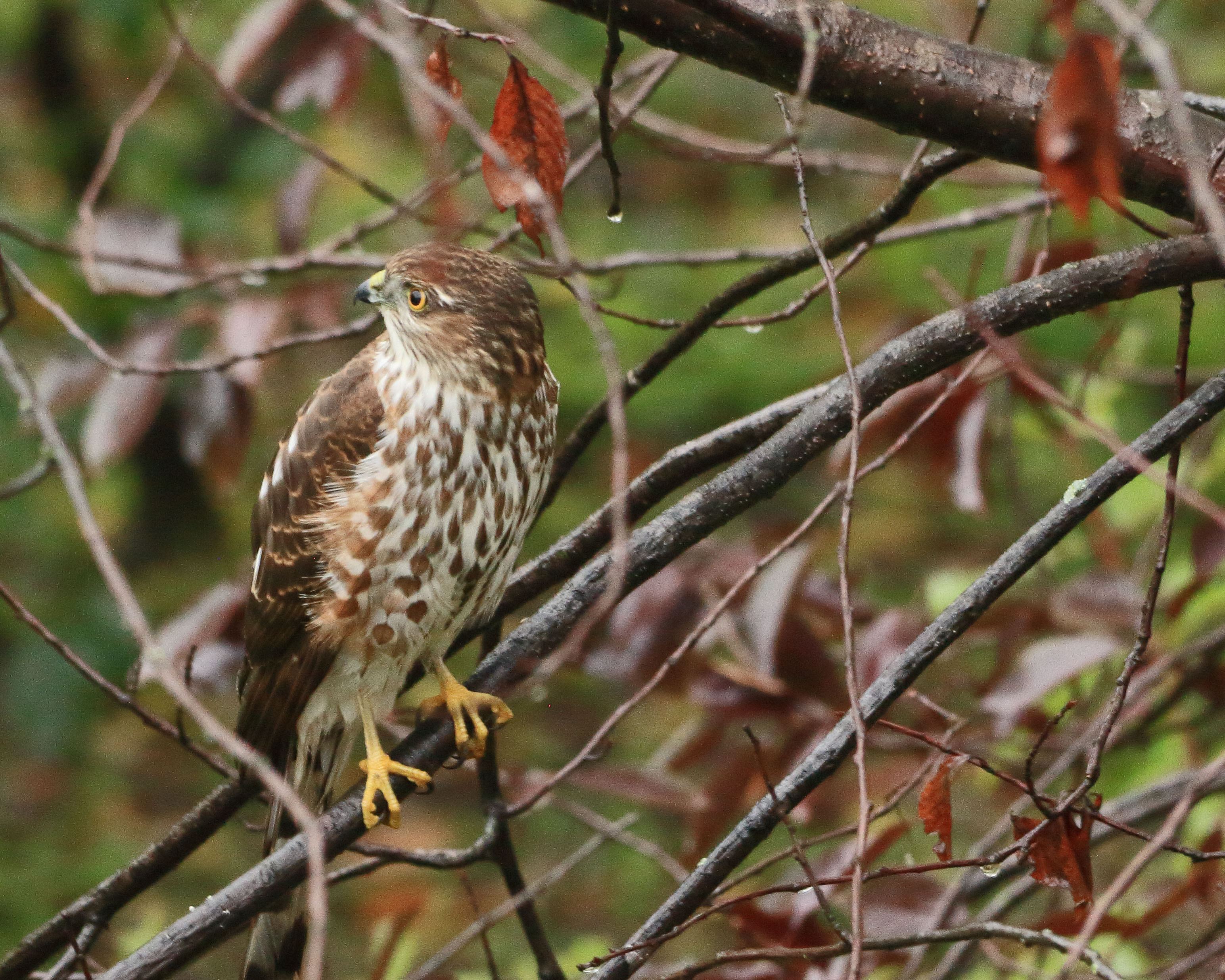Sharp-shinned Hawk.jpg
