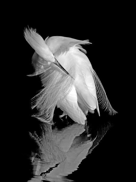 Snowy Egret Ballet