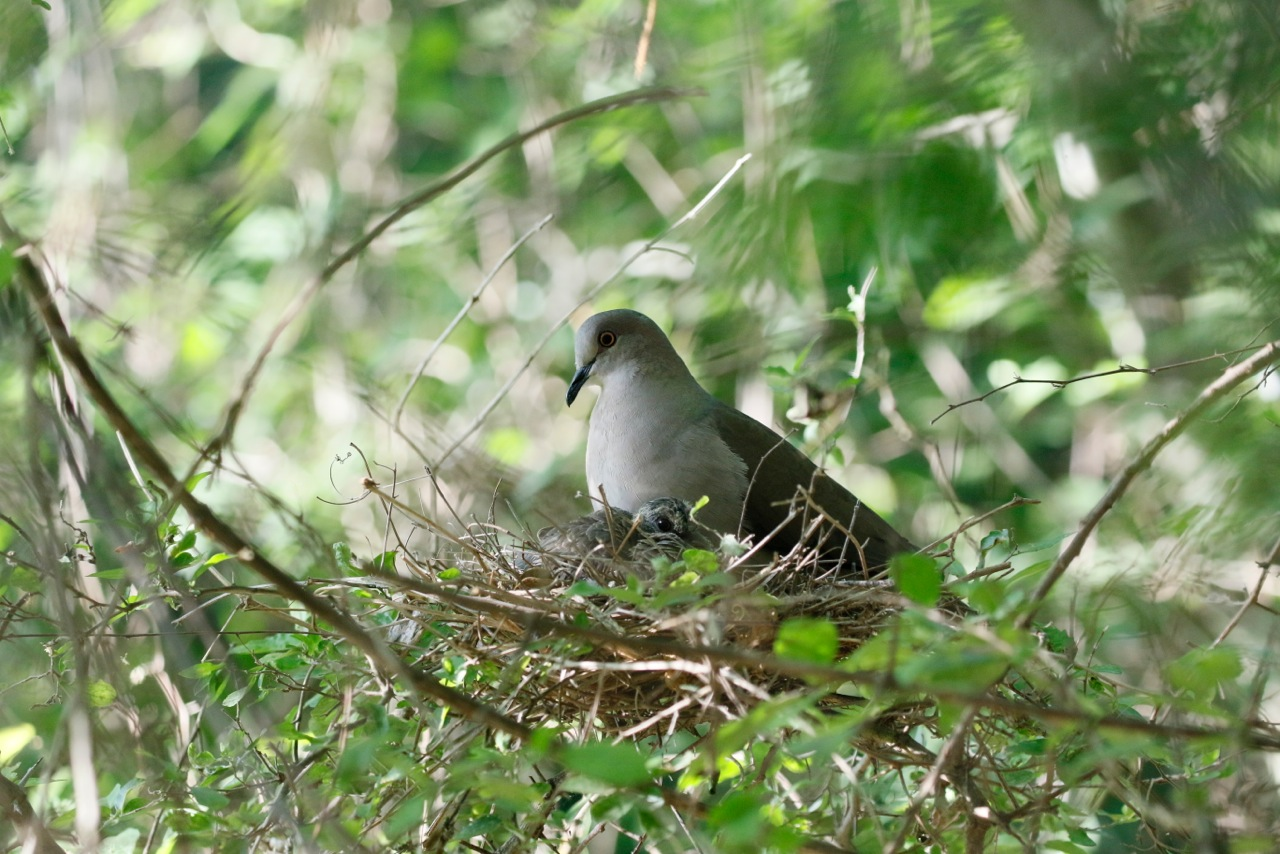 White-tipped-Doves.jpeg