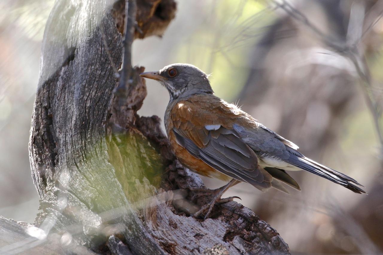 Rufous-backed-Robin.jpeg