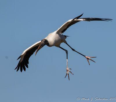 Wood Stork at Circle B.jpg
