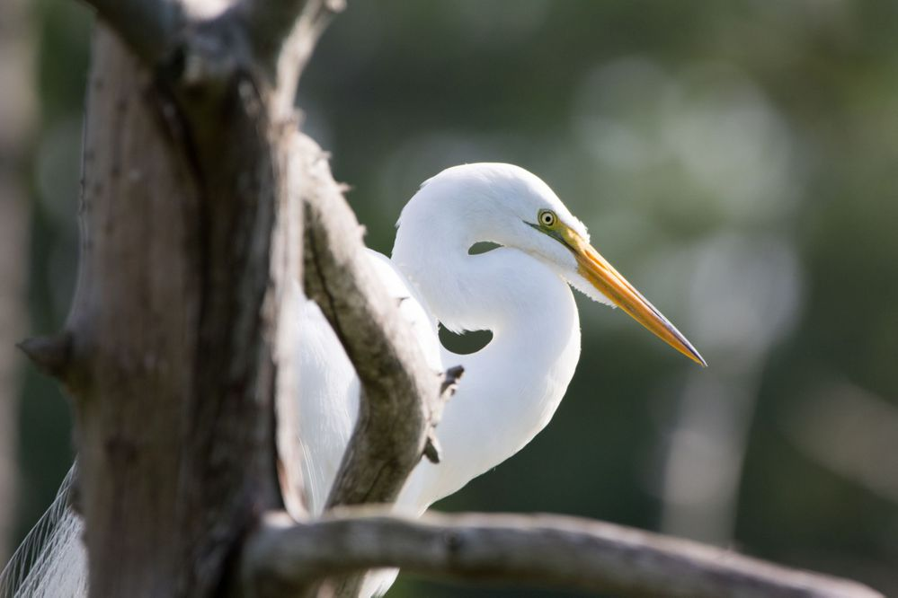Great Egret Profile Behind Branch Small.jpg