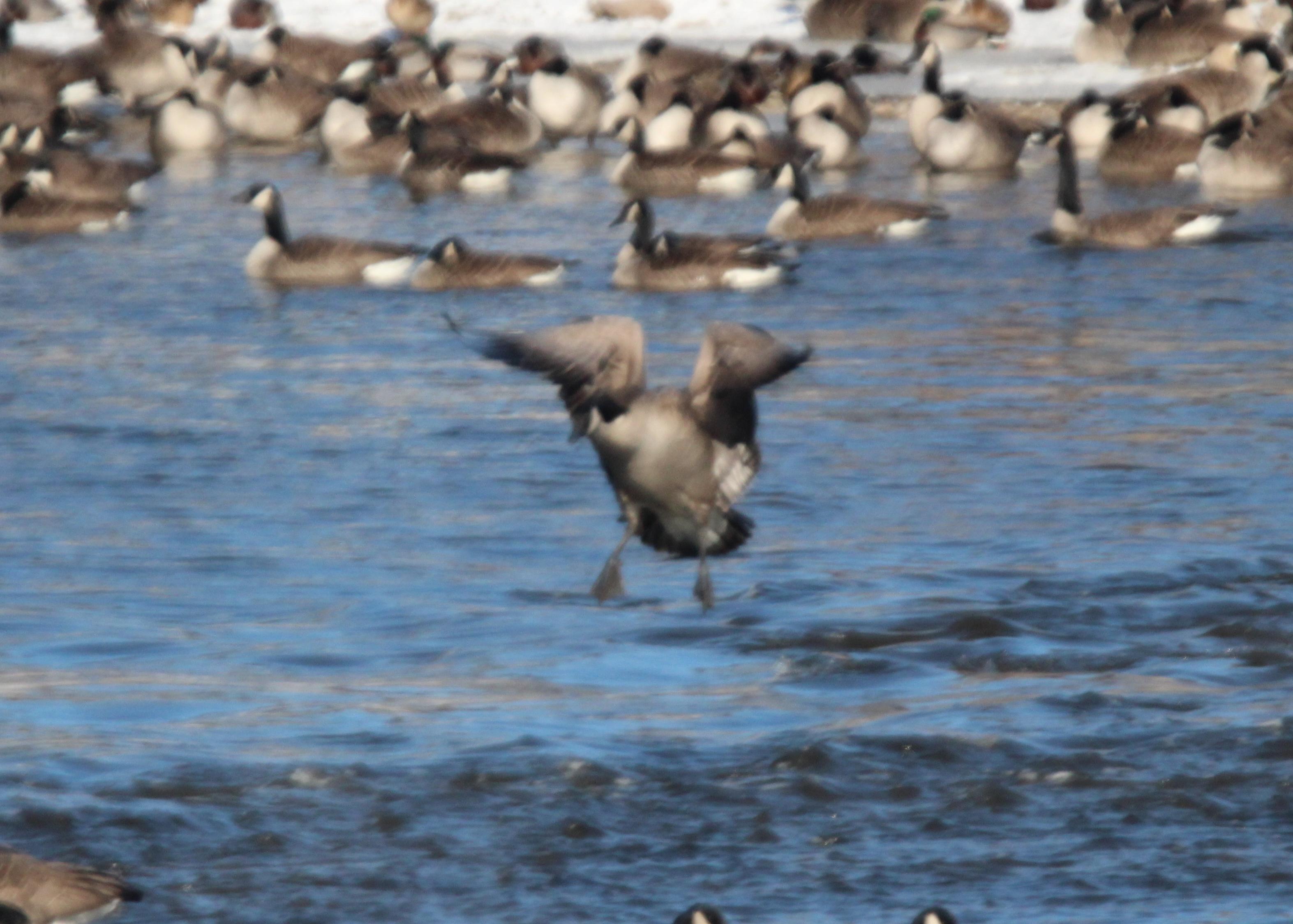 Geese2.jpg