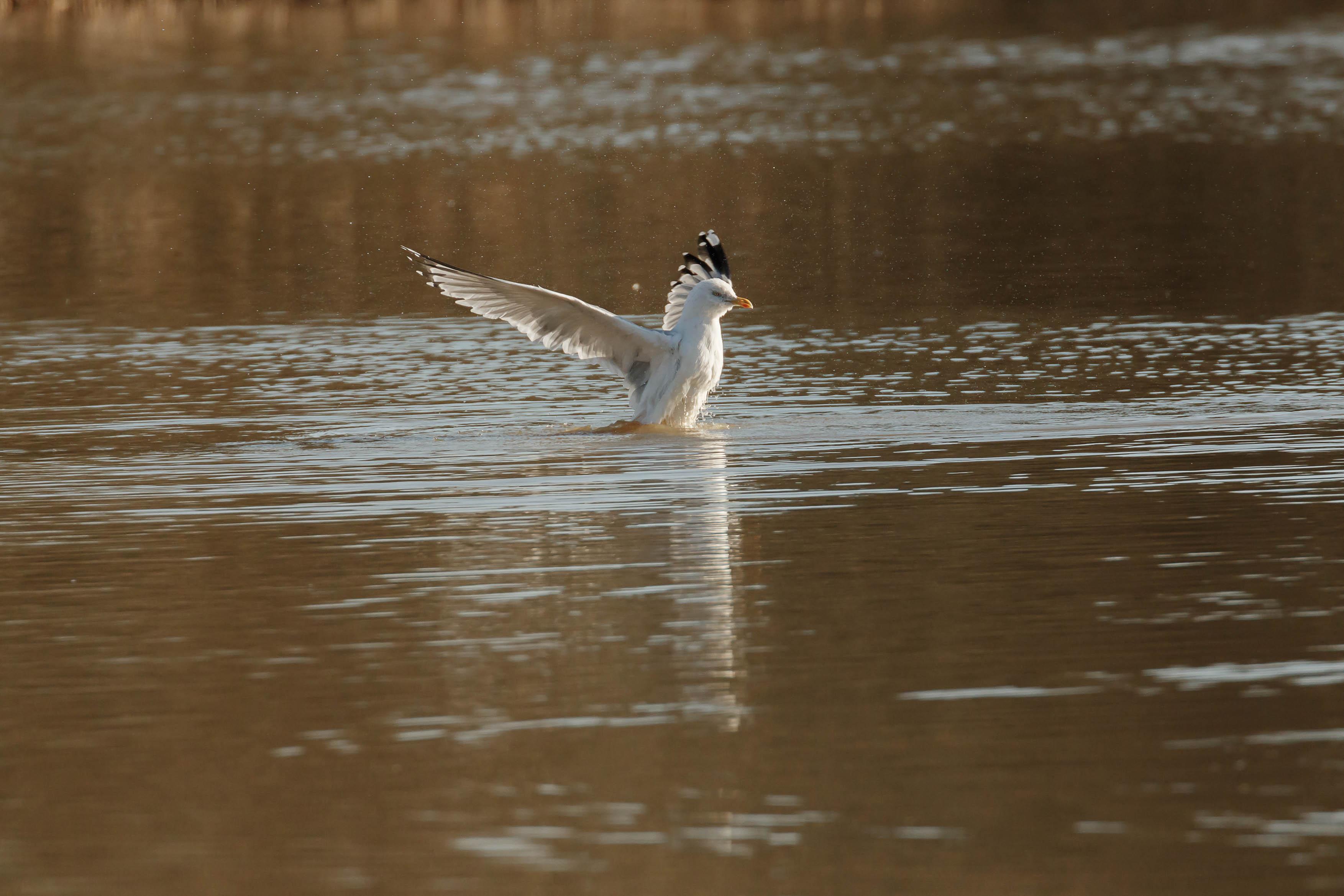 gulls-5.jpg