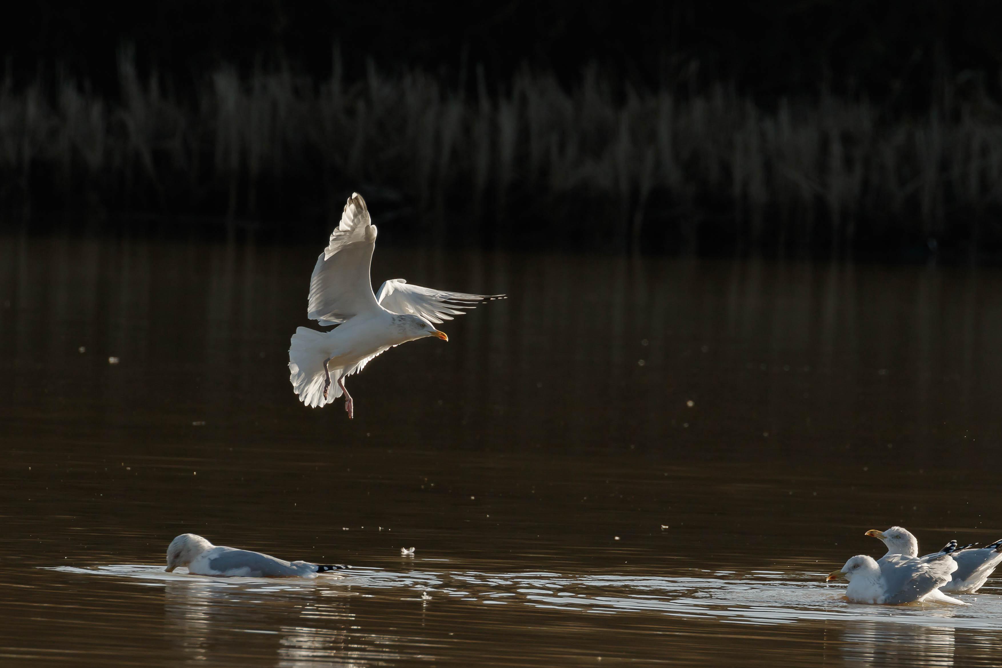 gulls-12.jpg
