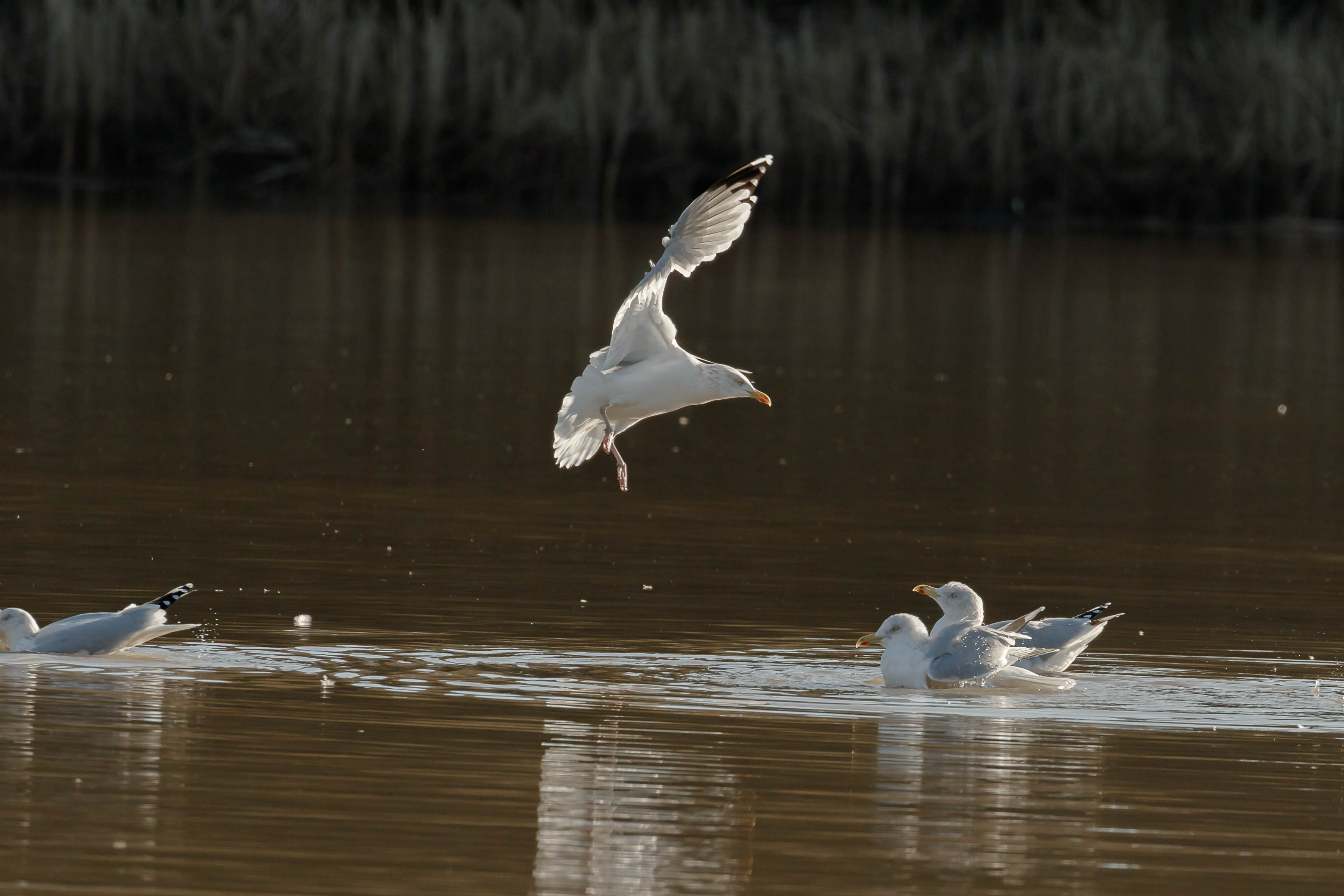 gulls-13.jpg