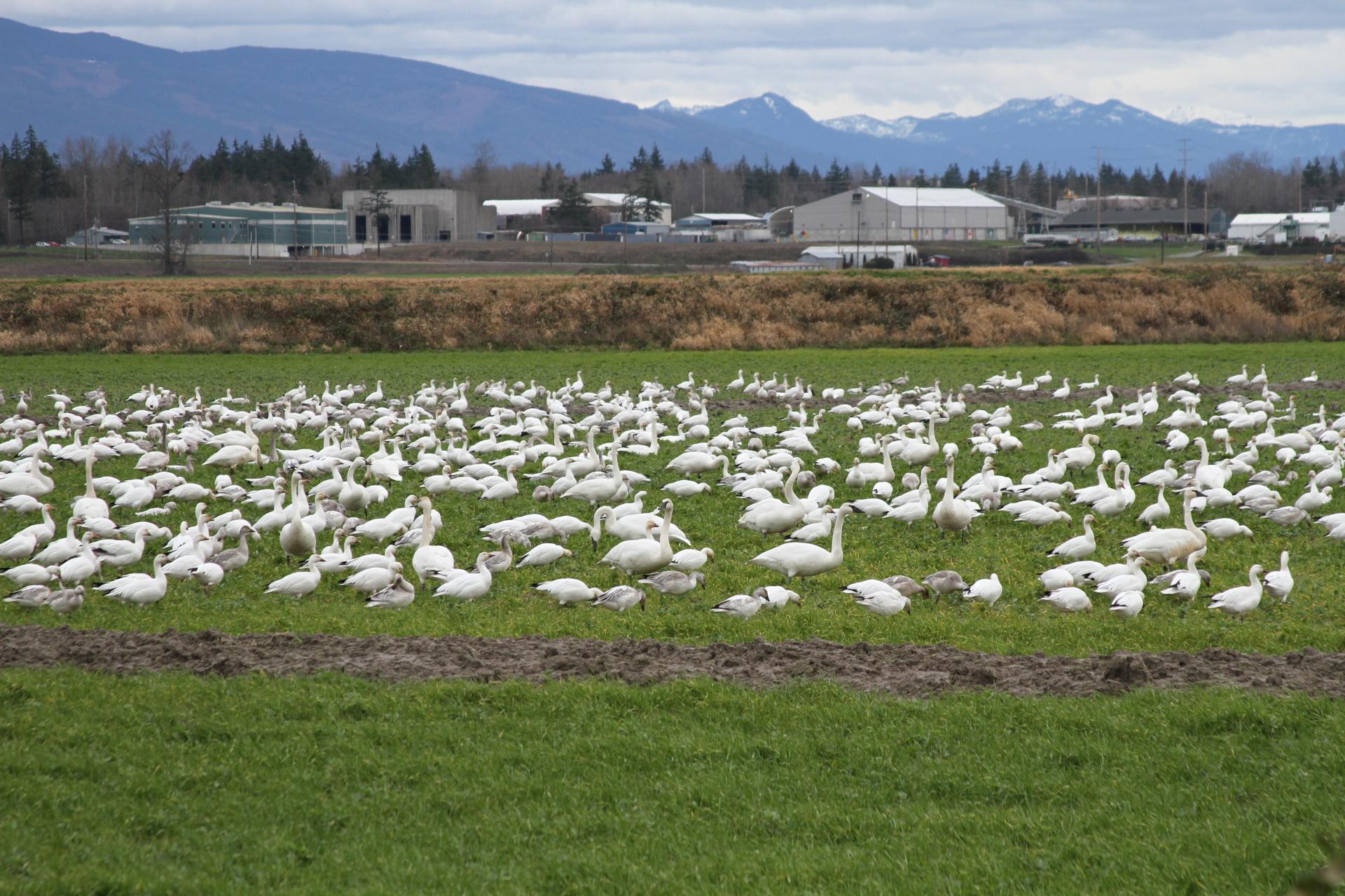 snow geese2.JPG