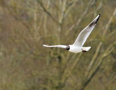 BH Gull in flight 6.jpg