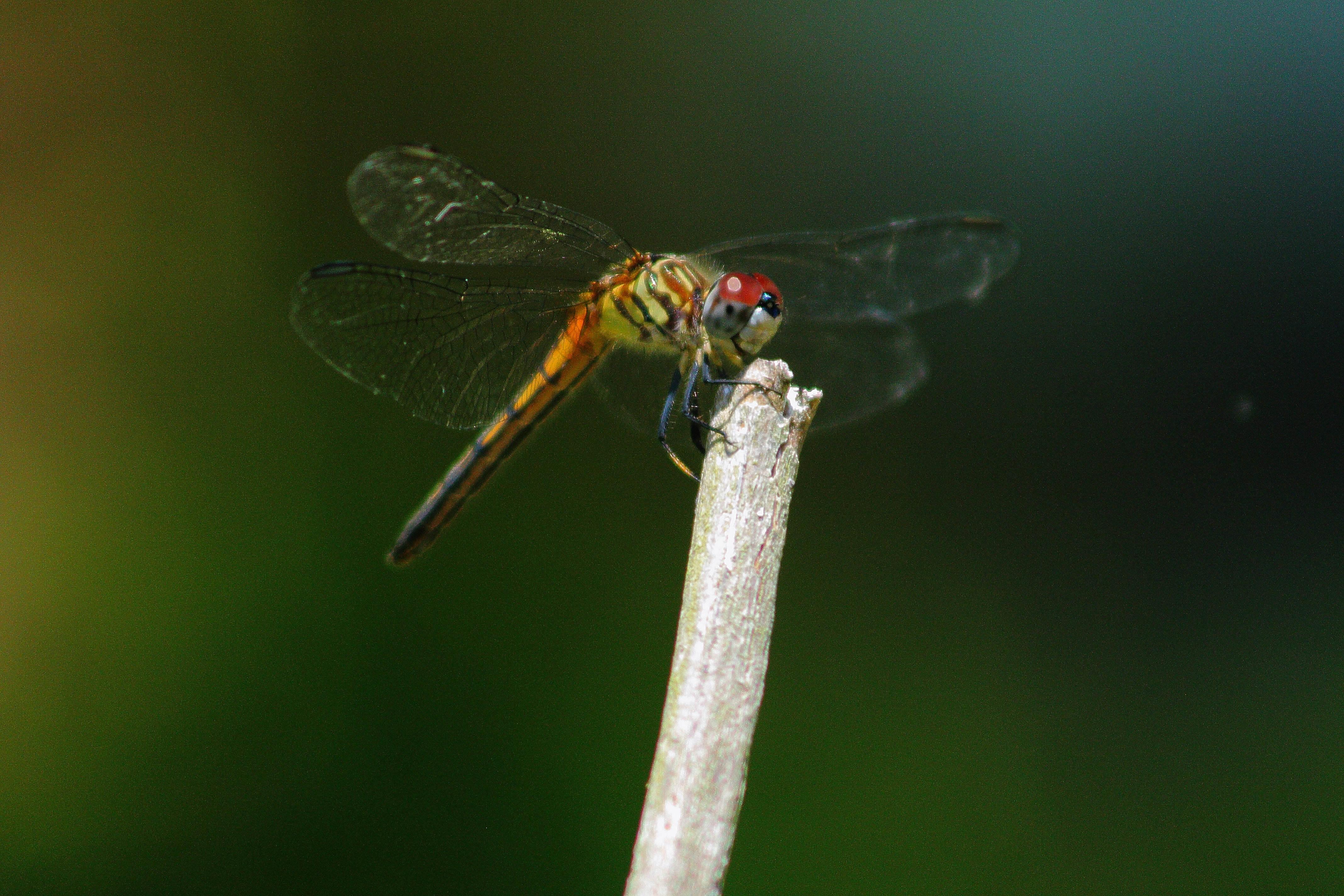 IMG_8859_Dragonfly.jpg