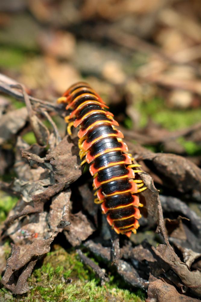 Centipede 1