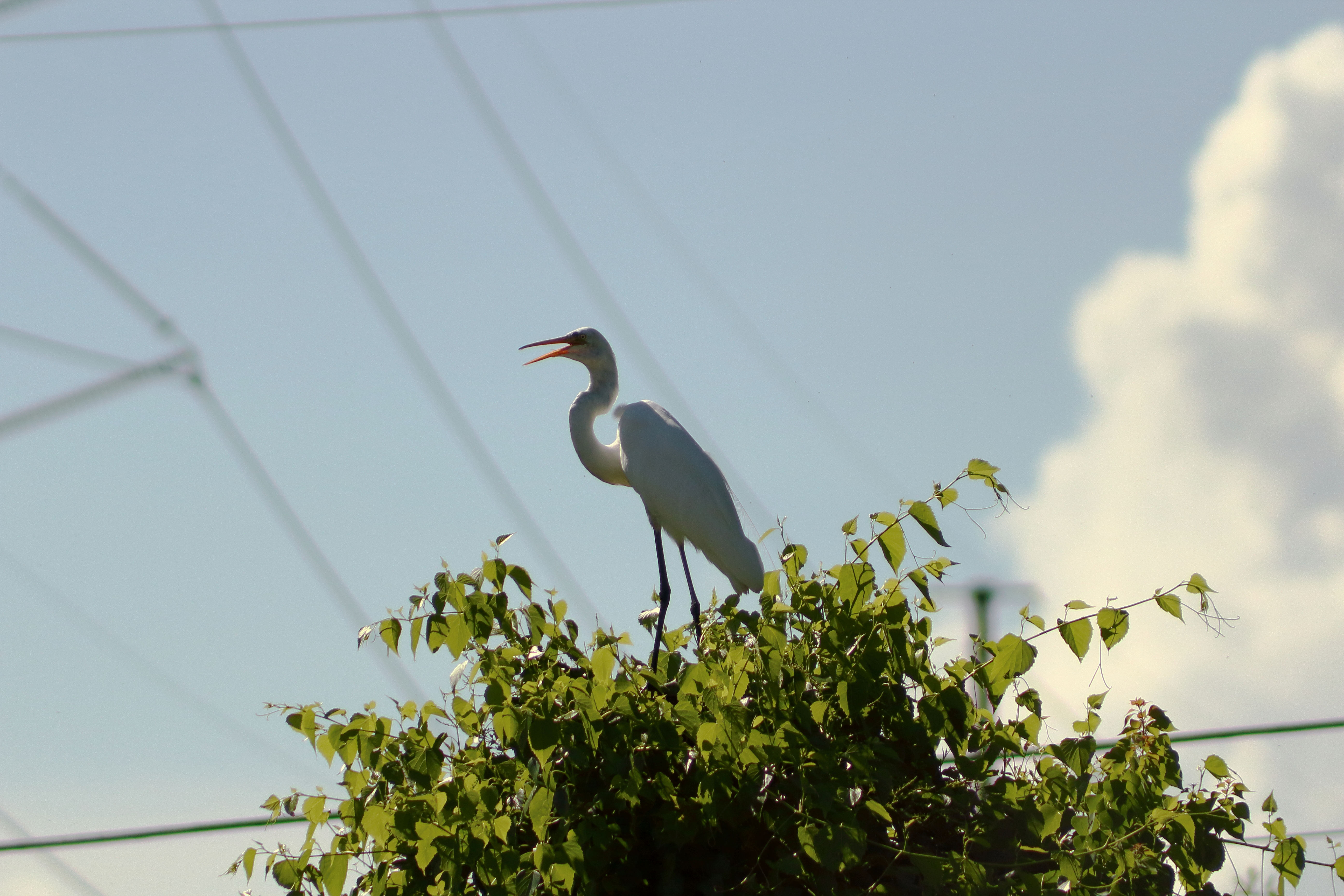 IMG_2871_Great Egret.jpg