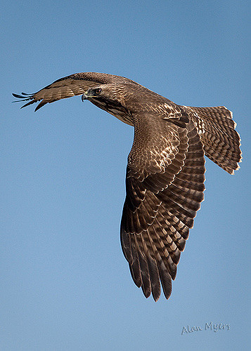 Red tail hawk fly by