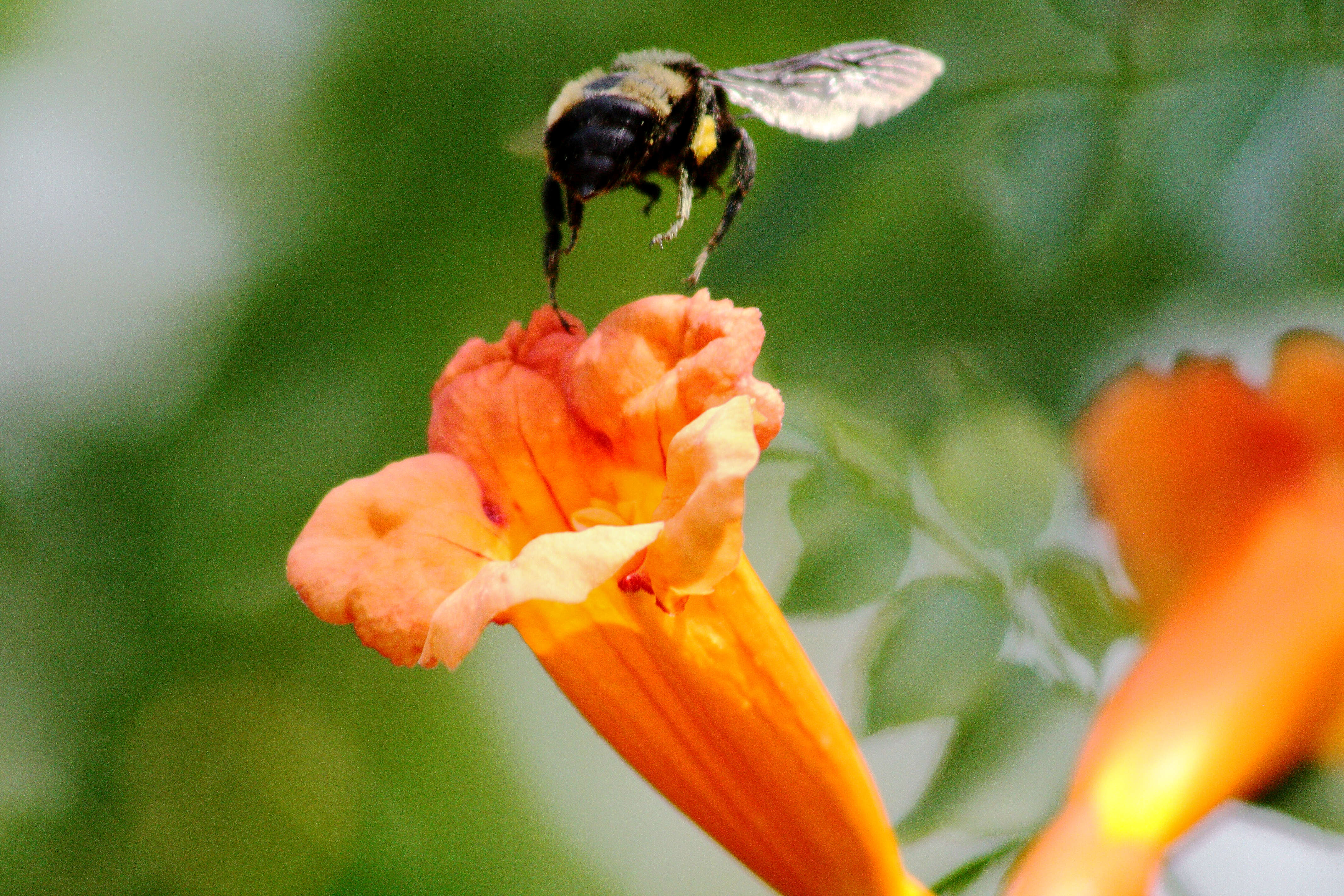IMG_9082_Trumpet Vine and Bee.jpg