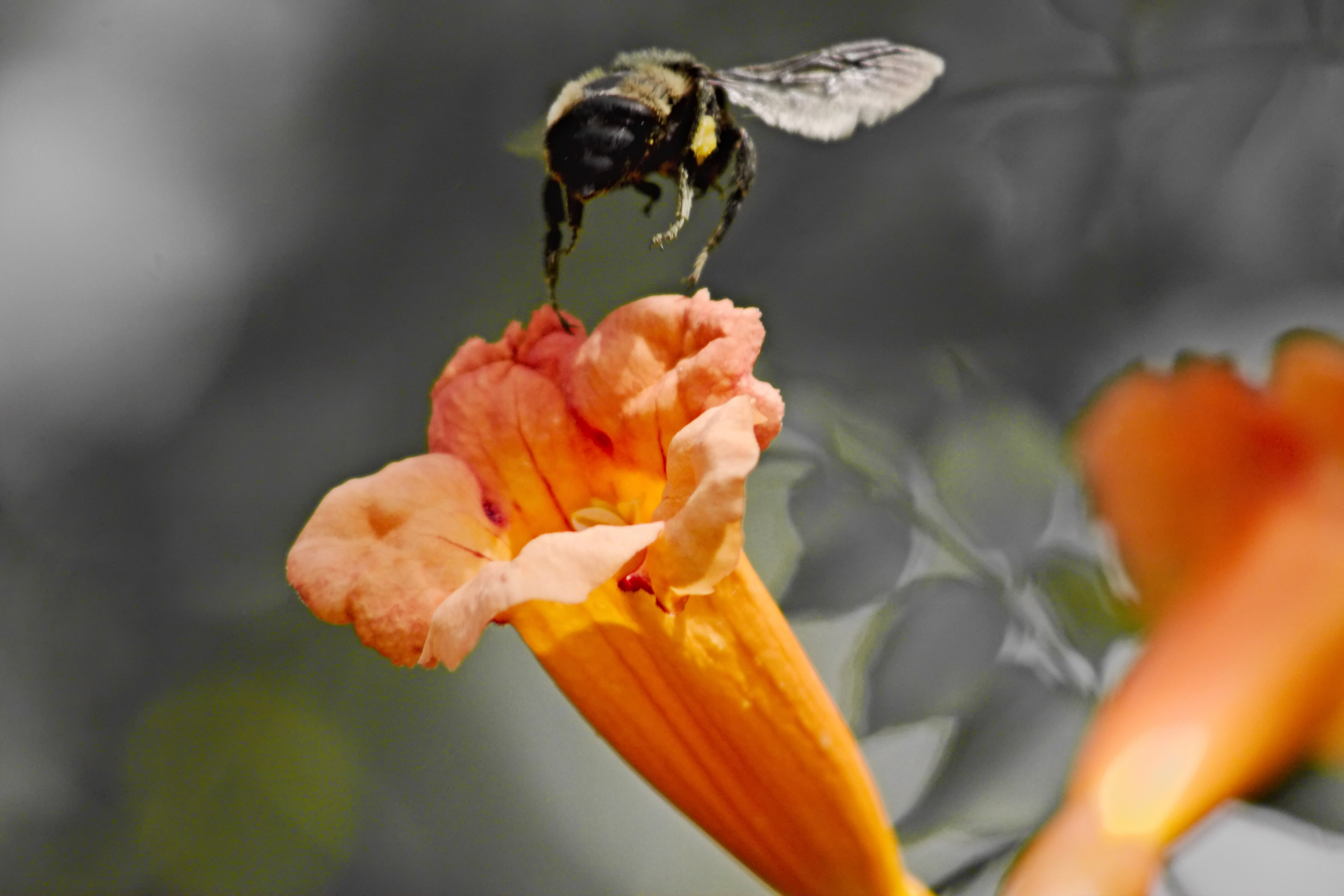 IMG_9082_v2_Trumpet Vine and Bee.jpg