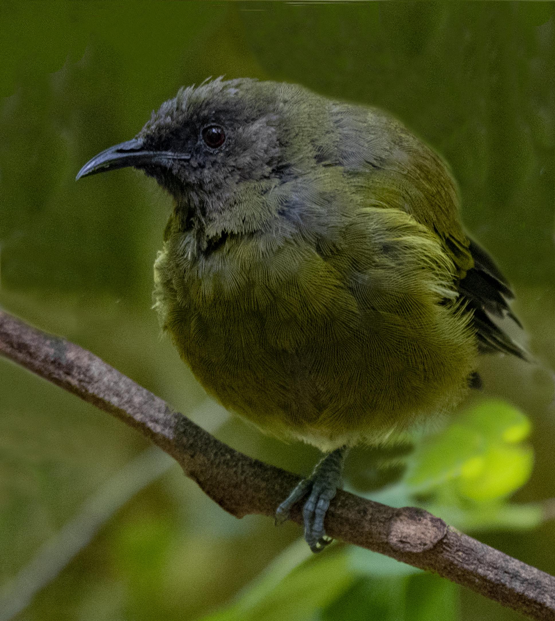 NZ Auckland Tiritir Bell Bird.jpg