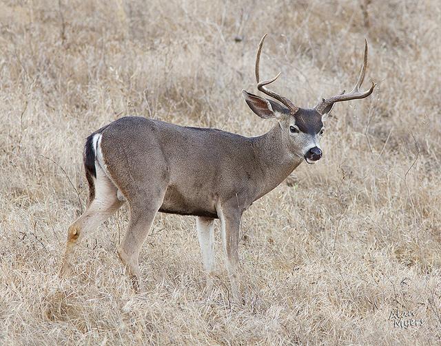 Black tail mule deer buck