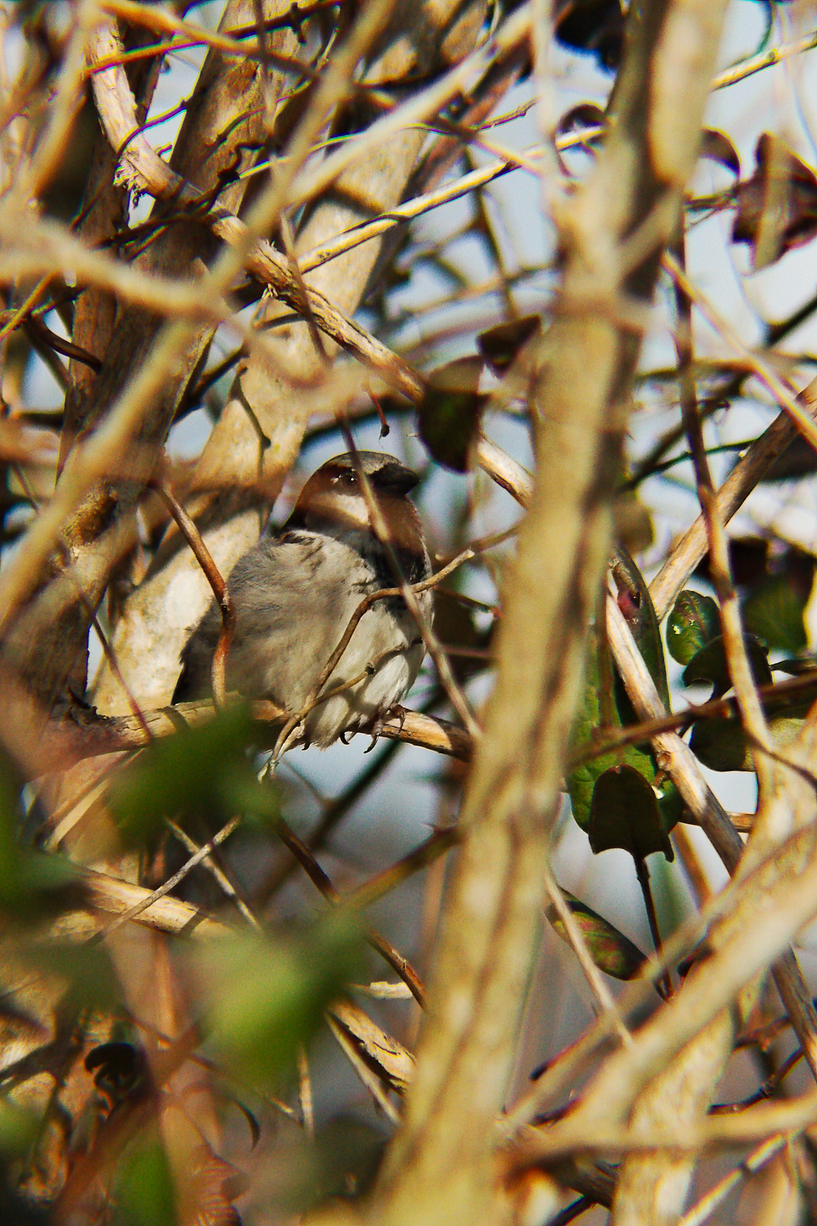 IMG_9380_v1_House Sparrow.jpg