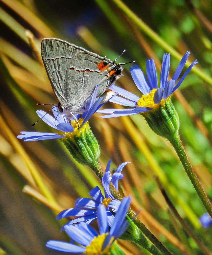 butterfly grey hairstreak 852x1024.jpg