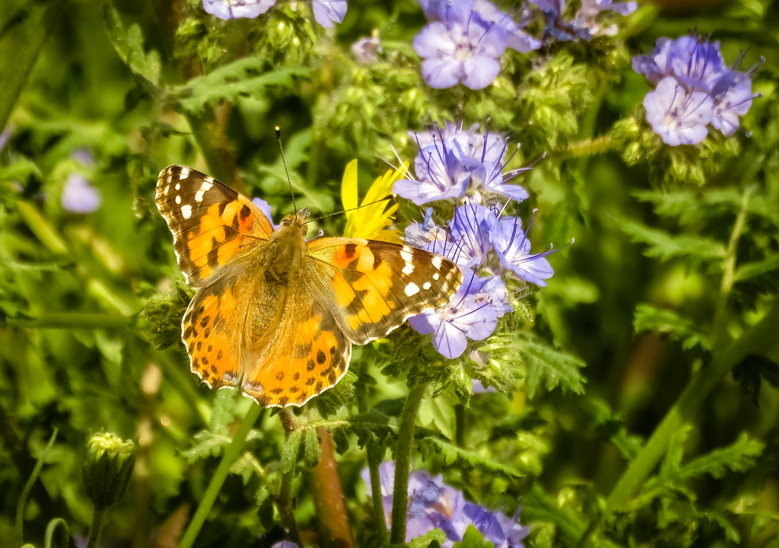 butterfly painted lady 1600x1125.jpg