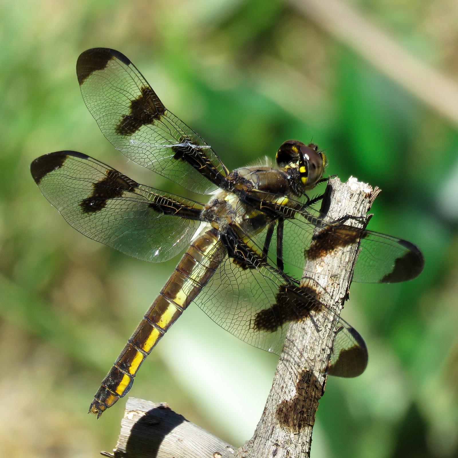 dragonfly 1600x1800.jpg