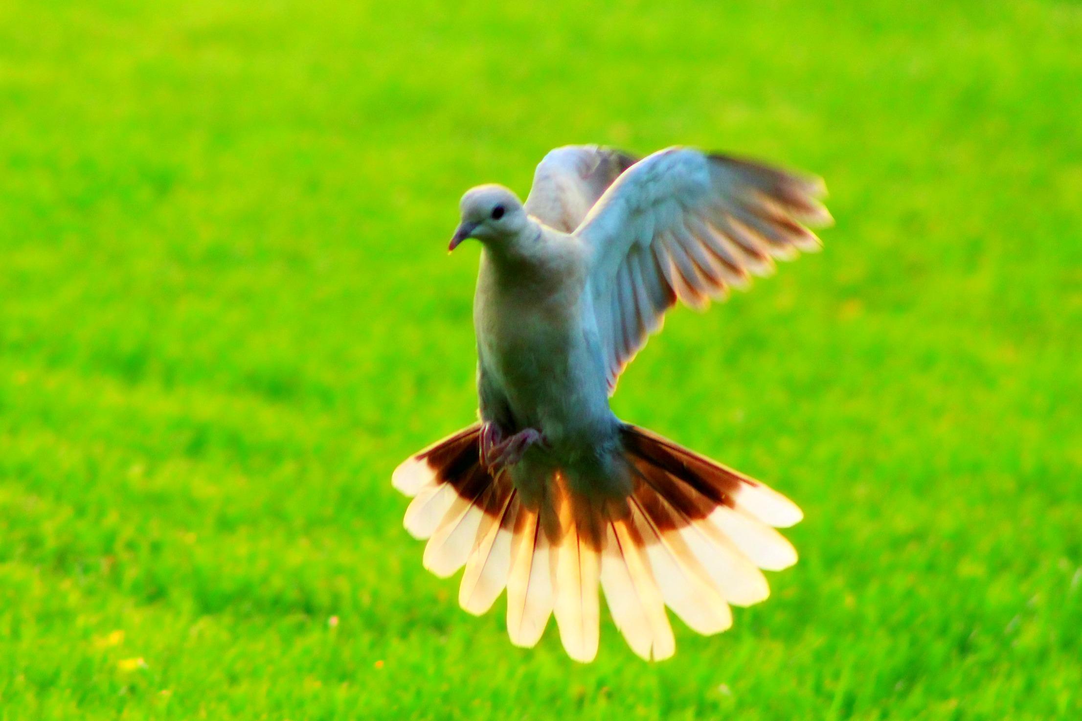 dove in flight .jpg