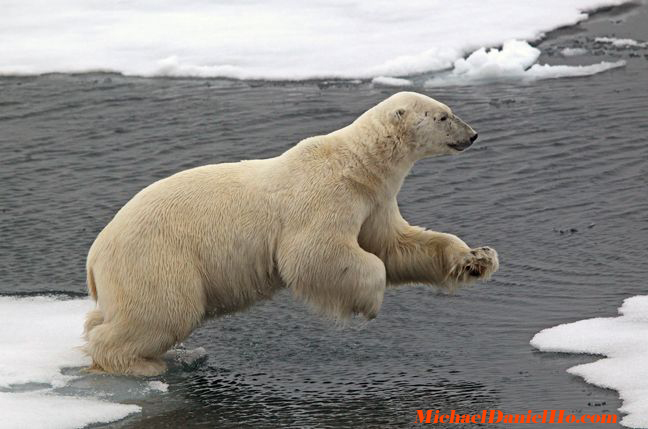 polar-bear8.jpg