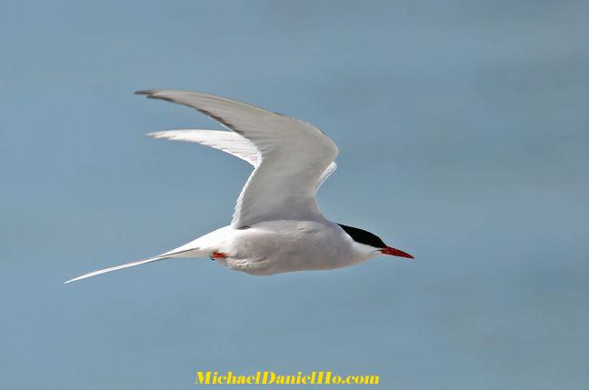 arctic-tern1.jpg