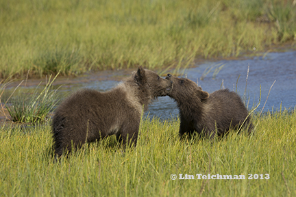 Grizzly Bear Cubs at Play
