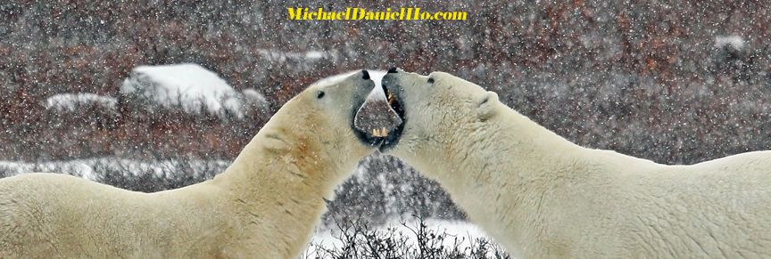 Dueling Canines - Polar bears sparing