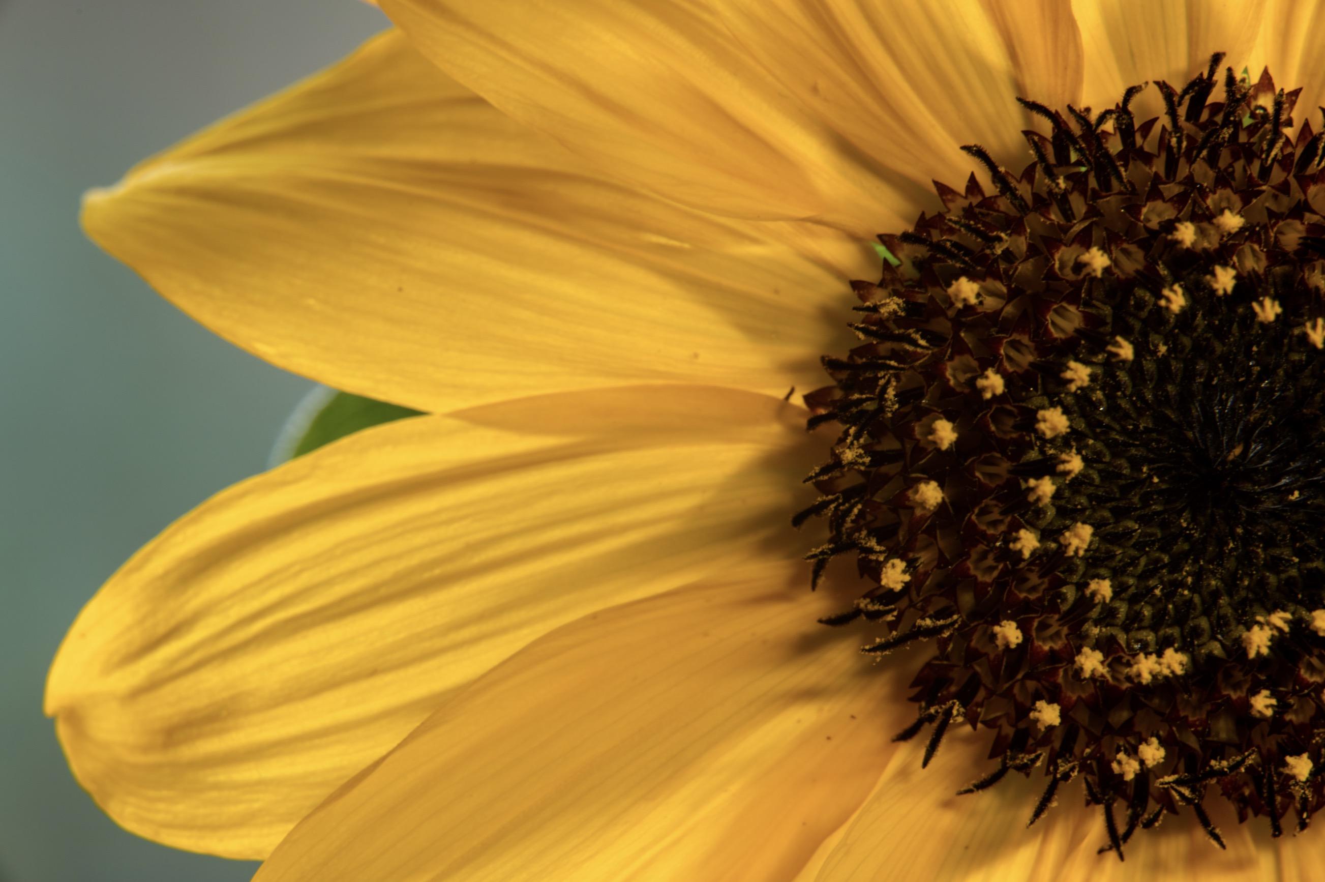 Sunflower macro.png
