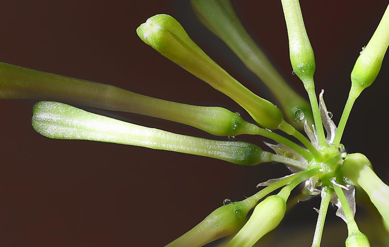 Dracaena Surculosa-2b.jpg