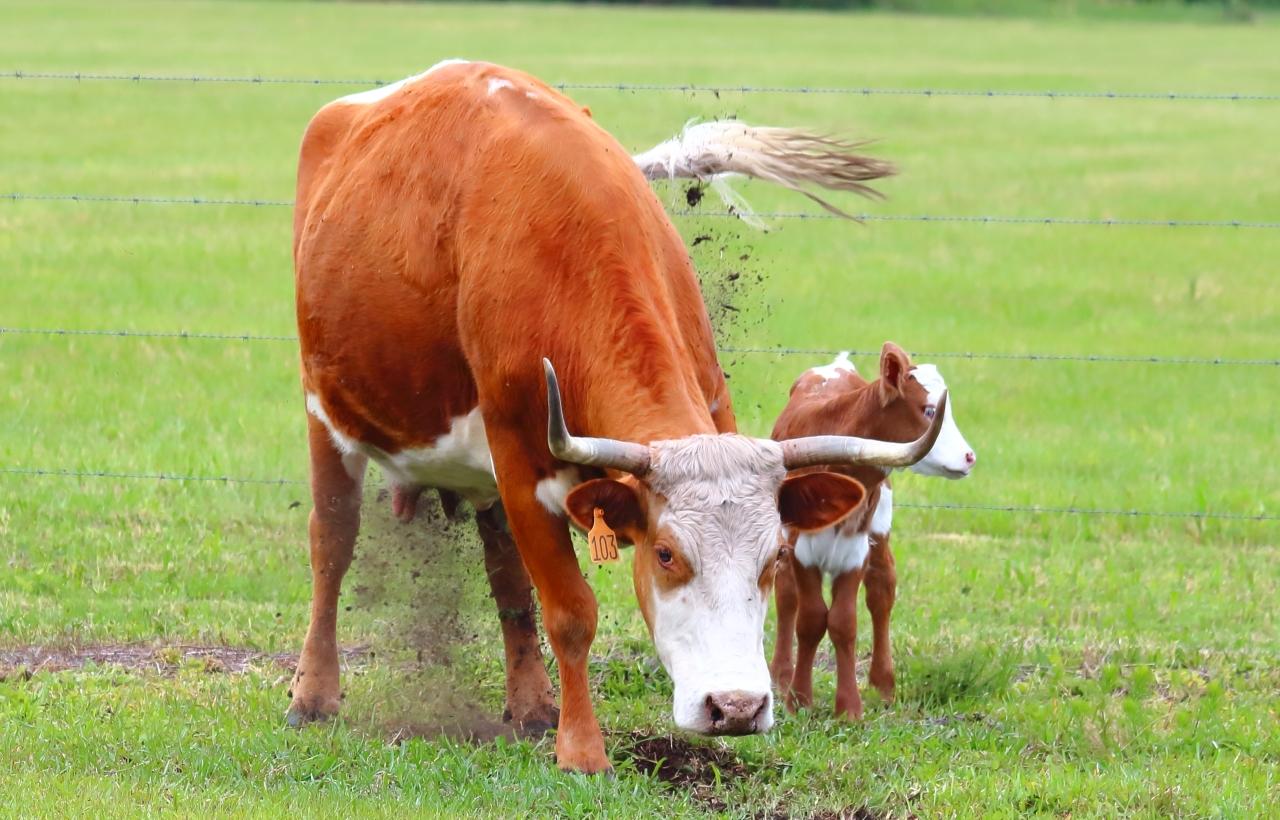 Cow Calf Mad-1a.JPG