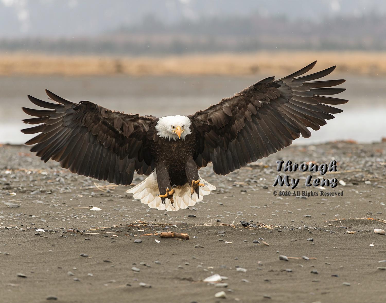 Eagle-Landing-on-Beach.jpg