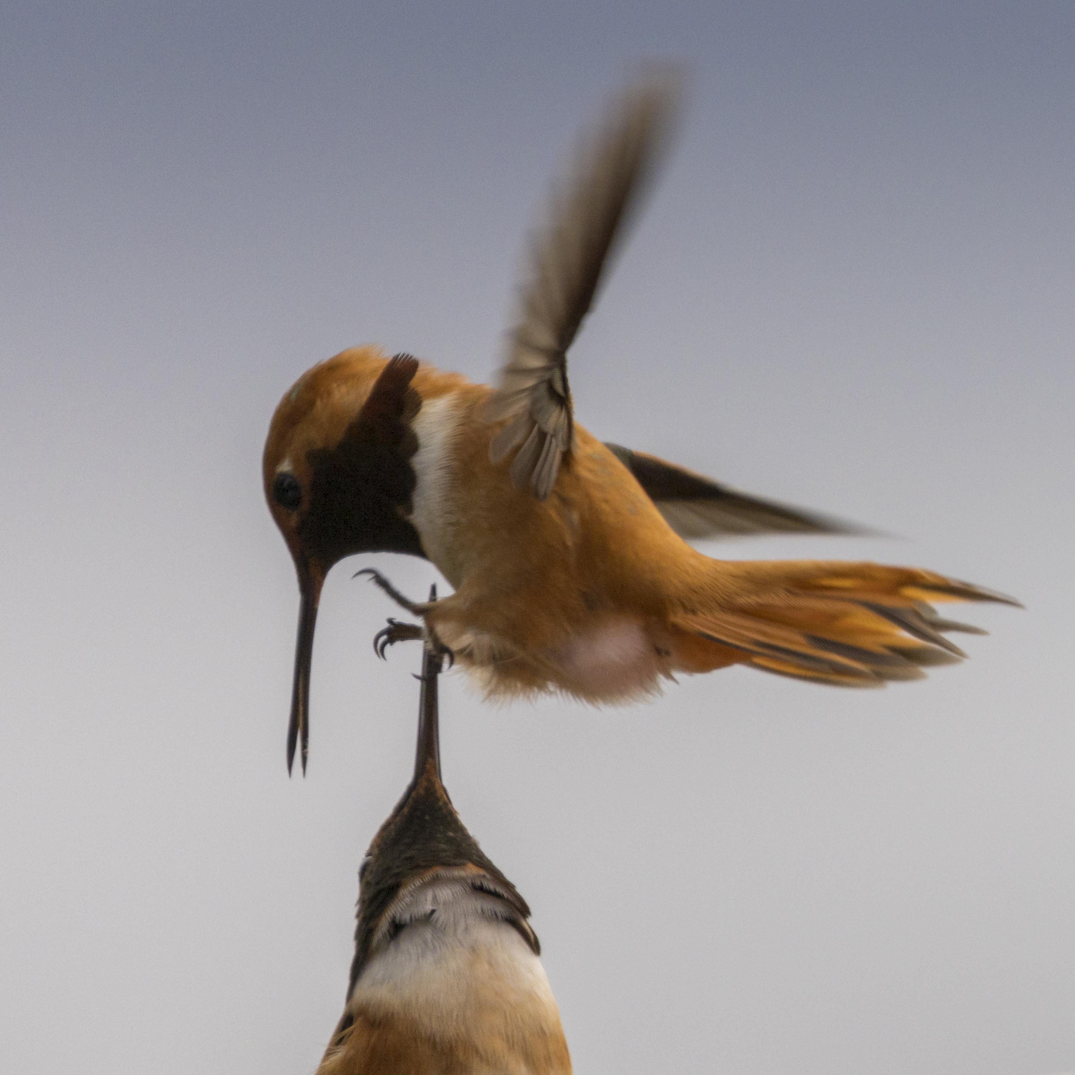 2103262067is Hummingbirds One on top of Beak.jpg
