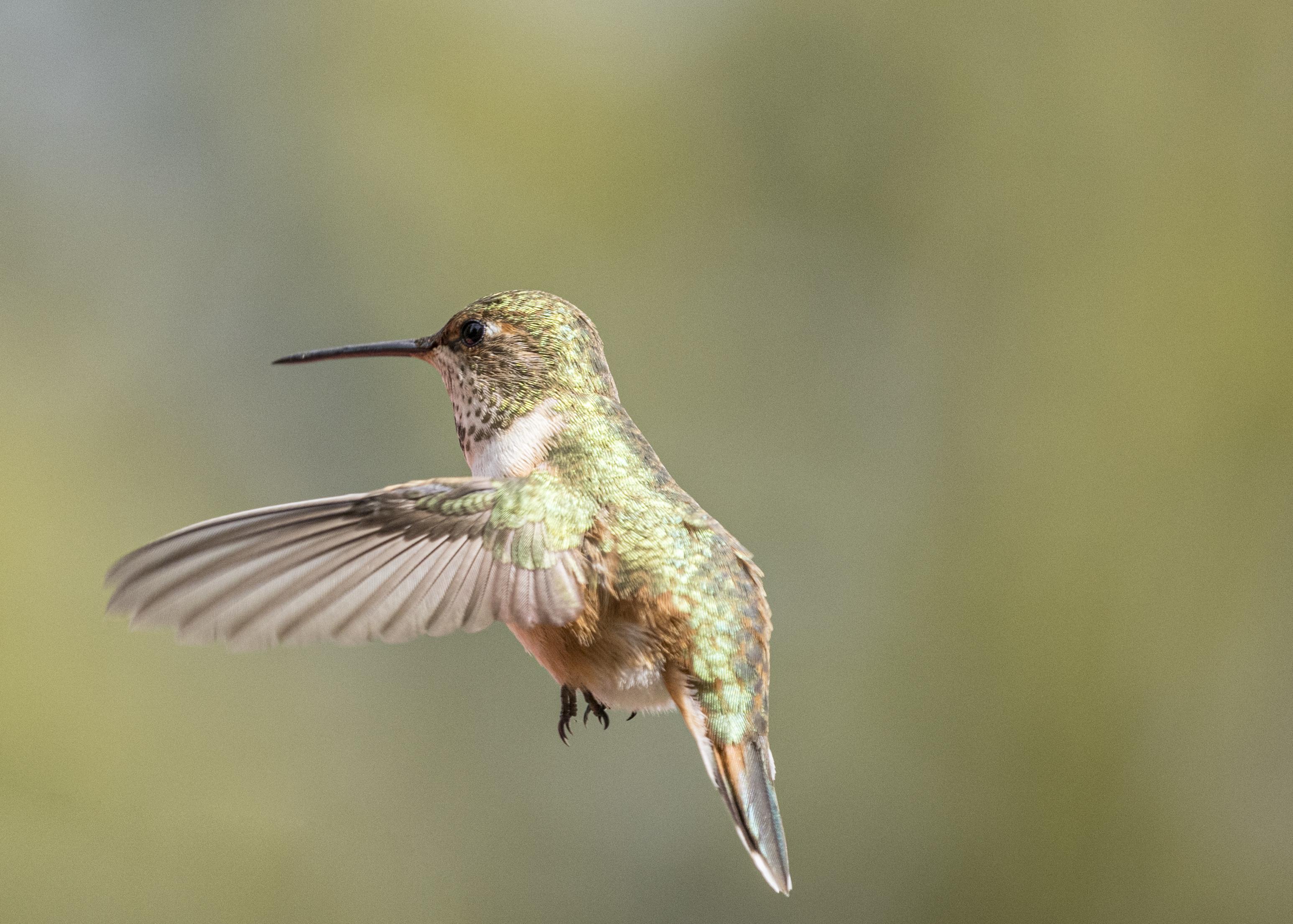 2104080090is Port Ludlow Hummingbird (Green).jpg