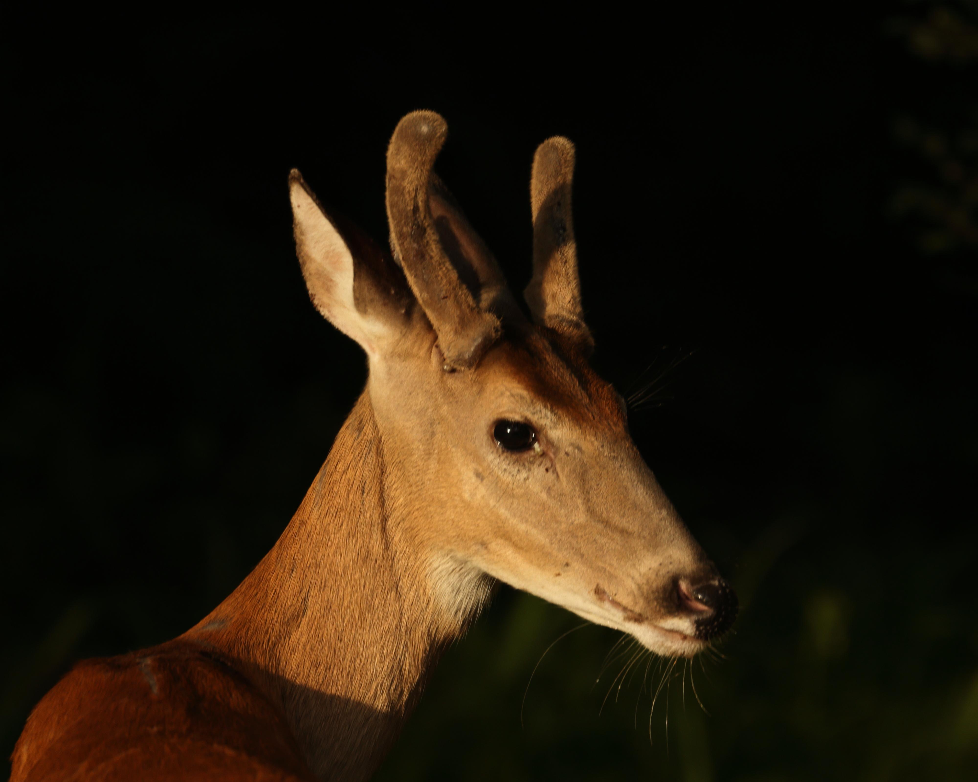 Deer 2008