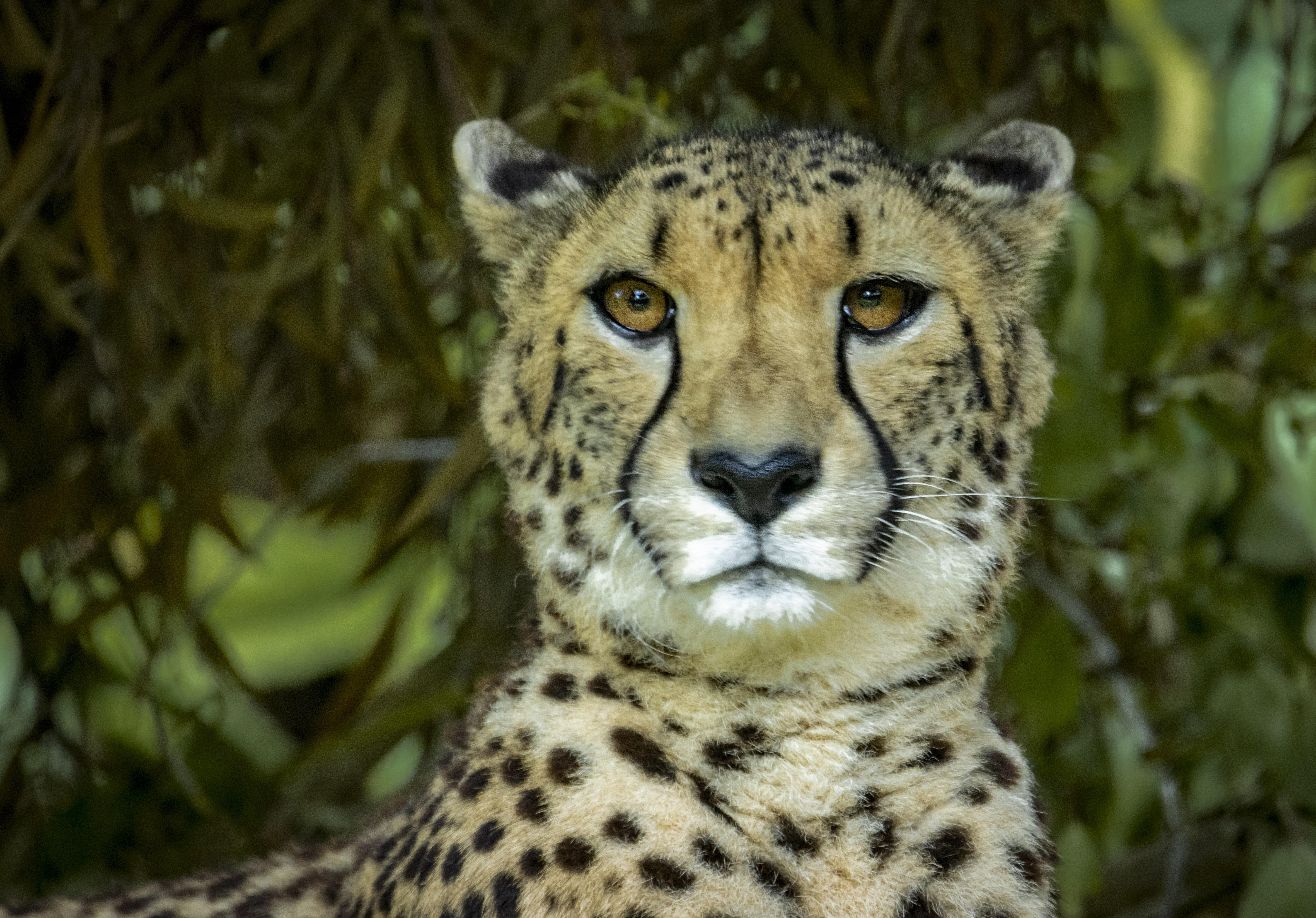 Cheetah 01 LR.jpg