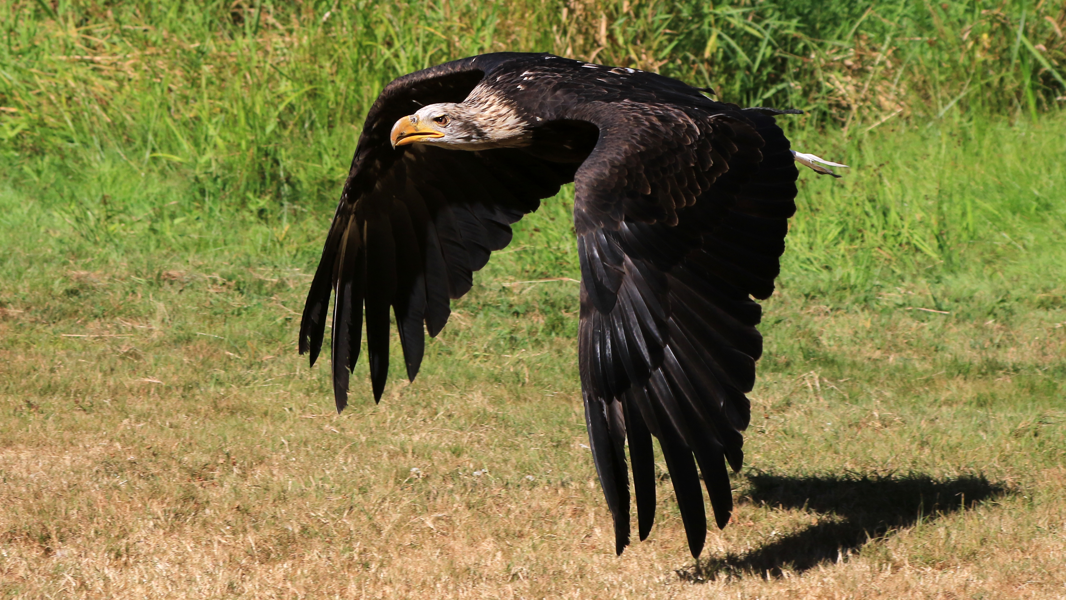 BC Vancouver Island Duncan Raptors Golden Eagle 30 L2.jpg