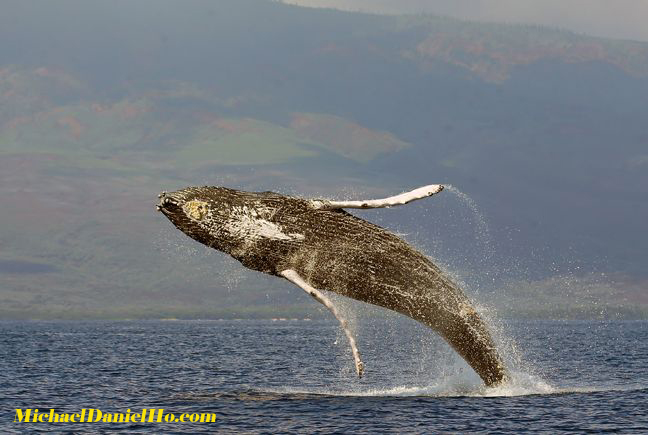 Humpback Whales - The Ultimate Flying Machine